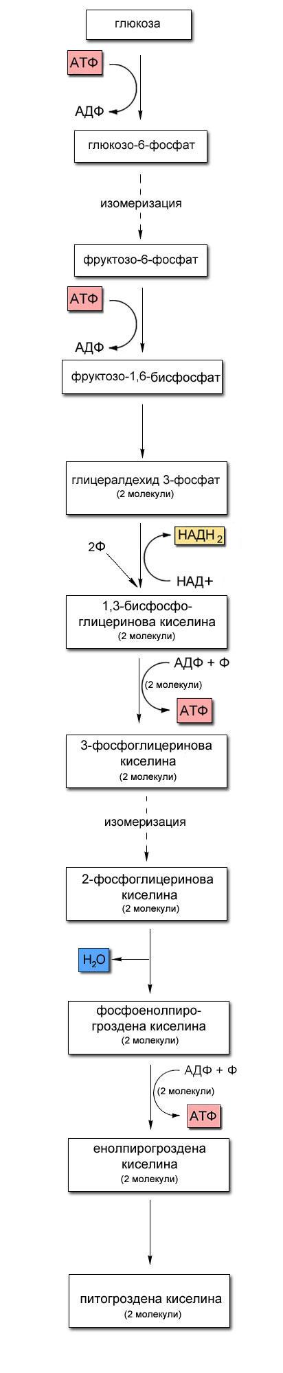 Гликолиза - анаеробно разграждане на глюкозата