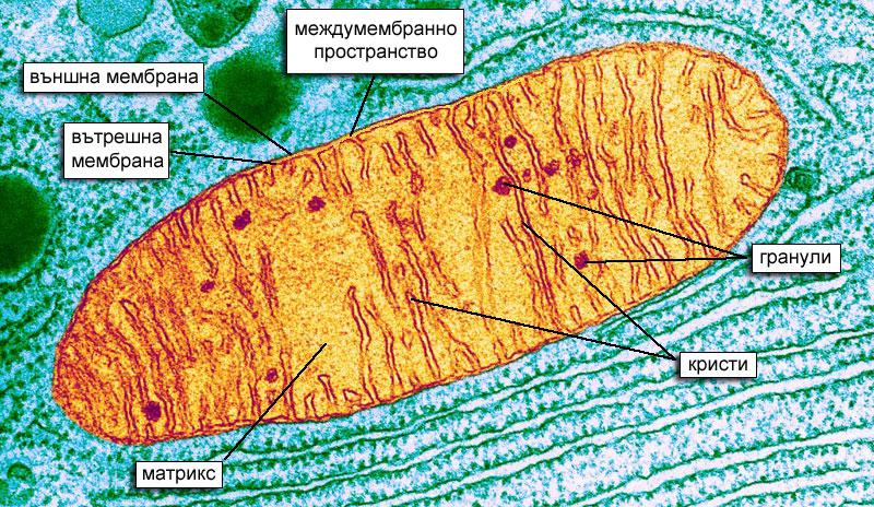 Устройство на митохондрий - микроскопска снимка, клетъчно дишане и цикъл на Кребс