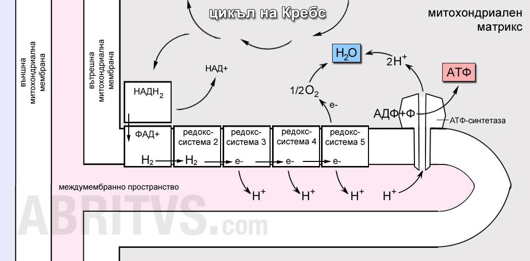 Схема на пренос на водород по дихателна верига и окислително фосфорилиране в митохондриите