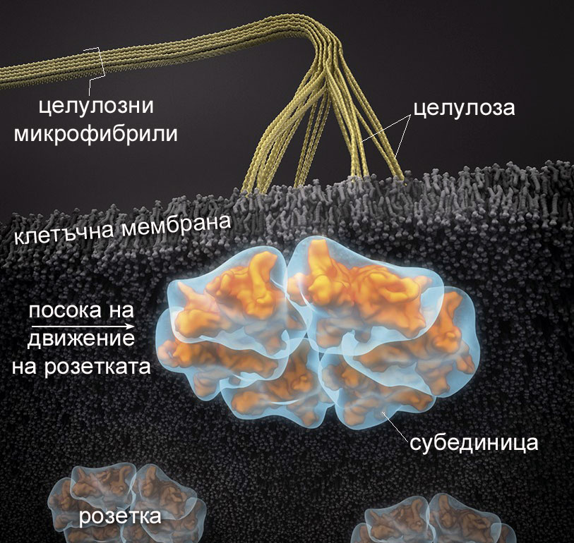 Целулозосинтезиращи комплекси
