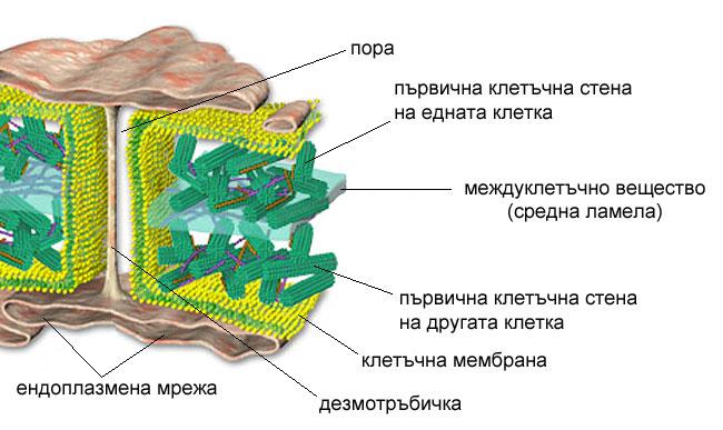Плазмодезми
