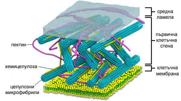 Образуване на първична клетъчна стена