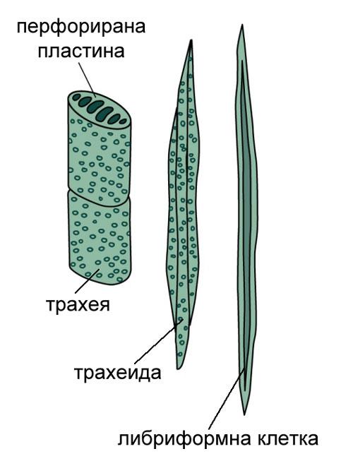 Трахеи, трахеиди и либриформни клетки, дървесина