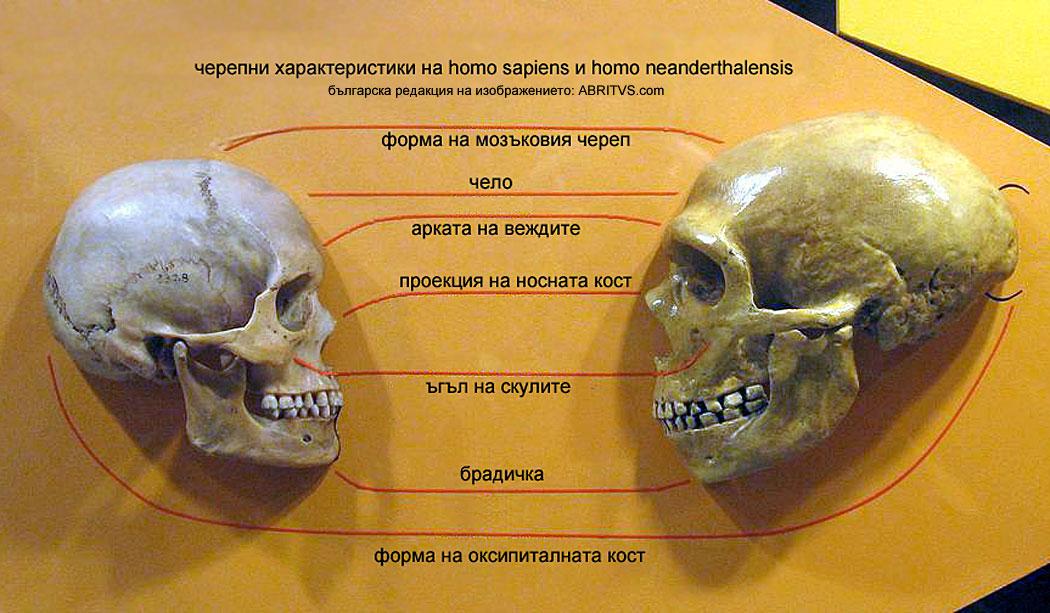 Сравнение между черепите на кроманьонец и неандерталец