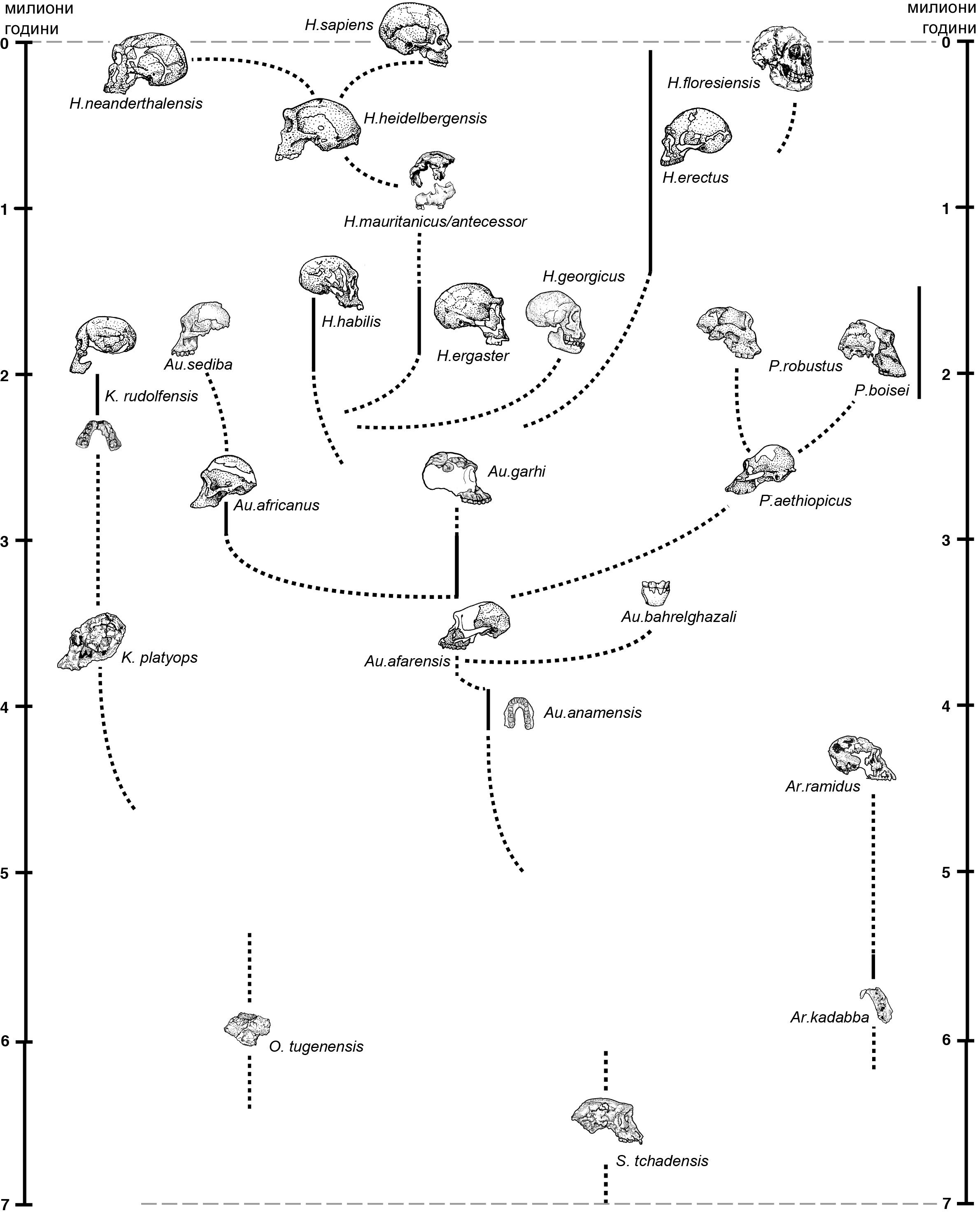 Дървото на живота за хоминидите.